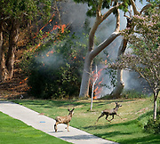 Deers run away from a brushfire, Sunday, Sept. 3, 2017, in Burbank, Calif. Several hundred firefighters worked to contain a blaze that chewed through brush-covered mountains, prompting evacuation orders for homes in Los Angeles, Burbank and Glendale.(Photo by Ringo Chiu)<br /> <br /> Usage Notes: This content is intended for editorial use only. For other uses, additional clearances may be required.
