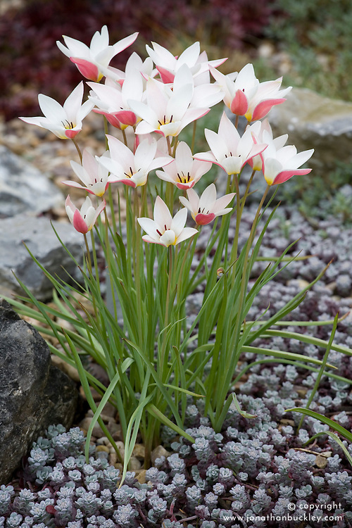 Tulipa clusiana 'Lady Jane' growing out of a carpet of Sedum spathulifolium 'Pupureum'. Shows pink colouring on underside of petals