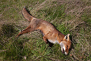 The body of a dead fox lying in grass on farmland on 3rd April, 2017, in Hadlow, Kent, England. The animal appeared very healthy with no visible injuries and from its overall condition, it was very recently deceased.