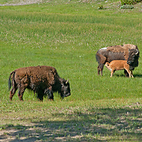 An American Bison (Bison bison) calf nurses in a meadow in Yellowstone National Park, Wyoming.