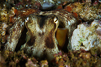 A common octopus, Octopus vulgaris, hiding it it's lair. Po Bin Chau, Hong Kong, China.<br /> This Image is a part of the mission Wild Sea Hong Kong (Wild Wonders of China).