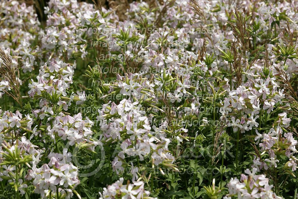 Valeriana officinalis<br /> Finfrock State Natural Habitat Area (Illinois)