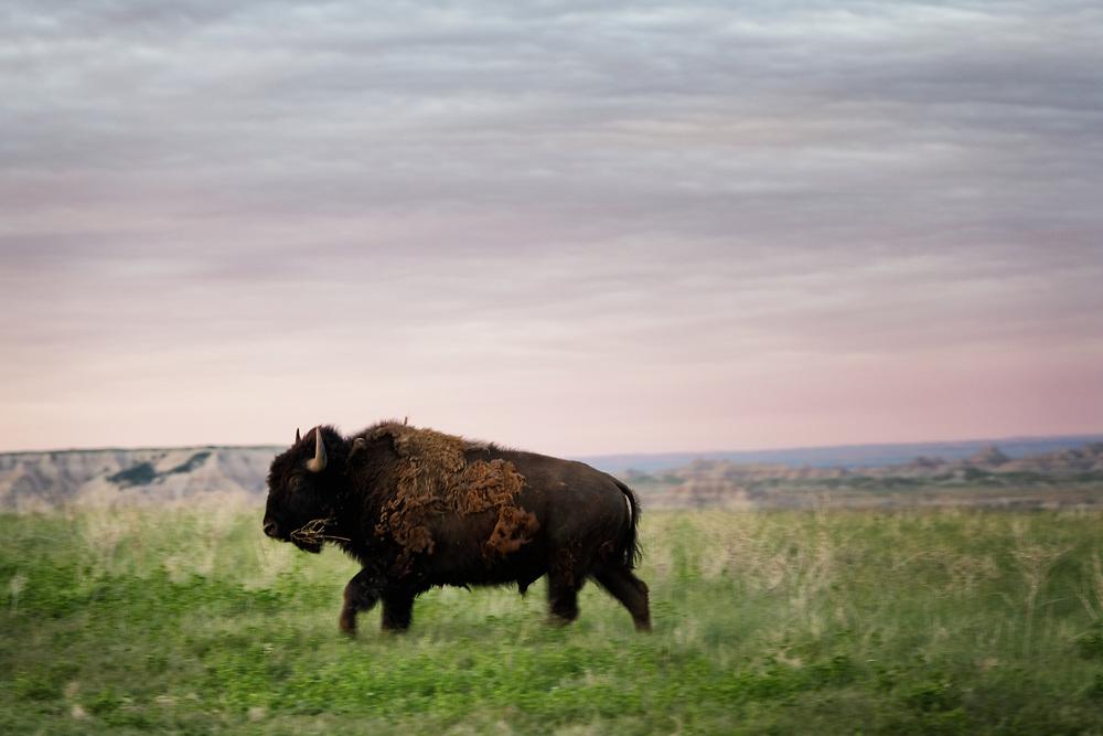A Bison runs across the plains in Badlands National Park, South Dakota