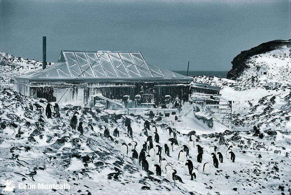 Adelie penguins outside Shackleton's 1907-09 hut, Cape Royds, Ross Island, Antarctica