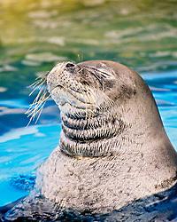 Hawaiian monk seal, Neomonachus schauinslandi, critically endangered species, endemic to Hawaiian Island chain, Oahu, Hawaii, captive