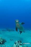Hawaiian monk seal, Monachus schauinslandi, yearling female ( critically endangered species ), Mahukona, Kohala, Hawaii Island ( the Big Island ) Hawaiian Islands, USA ( Central Pacific Ocean )