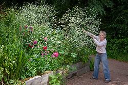 Carol Klein staking Crambe cordifolia at Glebe Cottage