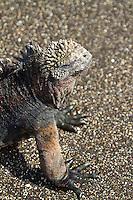 Marine iguana in the Galapagos Islands, Ecuador.