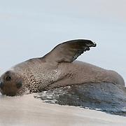 A baby Galapagos Sea Lion (Zalophus californianus wollebaeki). Gardiner Bay, Espanola Island, Galapagos, Ecuador