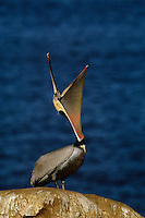 Brown pelicans (Pelecanus occidentalis) in breeding plumage.