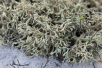 Close-up of the jester lichen (Cladonia leporina) is an interesting member of the already interesting Cladionia lichens with their odd and often colorful fruiting bodies. What's particular about this species is their preferred habitat of dry, open sandy soils instead the typical Cladonia low-to-mid mountain forest that gets lots of rainfall. This one was found growing in mass profusion just above the high tide line in the Gulf Islands National Seashore next to Fort Pickens near Pensacola, Florida.