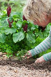 Using self sown seedlings. Carol Klein digging up self sown Trillium chloropetalum seedling