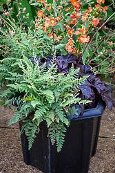Pot with Heuchera 'Obsidian', Cheilanthes lanosa and Sphaeralcea incana 'Sourup'