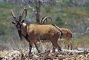 Wild Goat (Capra aegagrus). This species is believed to be the ancestor of the domestic goat