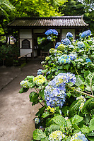 Meigetsuin Hydrangea Garden - Meigetsuin, also known as Ajisaidera or Hydrangea Temple since many Hime Ajisai Princess Hydrangea are planted on the grounds coming into season in June - the rainy season in Japan. Meigetsuin's main hall features a circular moon viewing window, which frames the scenery of the inner garden behind it. The inner garden is famous for its iris garden. Meigetsu means bright moon or harvest moon.  In Japan rabbits are associated with the moon, and so rabbit motifs are found on some decorations in and around the temple and gardens.  Live rabbits are also kept on the temple grounds.  Meigetsuin Temple is of the Rinzai Zen Buddhism sect, and was established as a sub-temple of Zuisenji.