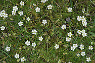 HEATH PEARLWORT Sagina subulata (Caryophyllaceae) Height to 10cm. Mat-forming, downy perennial with a basal rosette. Found on dry, sandy or gravelly soils. FLOWERS have 5 white petals that are equal to, or longer than sepals; borne on slender, stickily hairy stalks (May-Aug). FRUITS are capsules. LEAVES are narrow, bristle-tipped and downy. STATUS-Locally common in N & W; scarce or absent elsewhere.