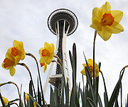 The Space Needle appears to pop out of a cluster of daffodils at Seattle Center.   (Ken Lambert / The Seattle Times)