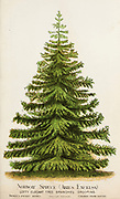 Picea abies, the Norway spruce [Here as Abies Excelsa] or European spruce, is a species of spruce native to Northern, Central and Eastern Europe. from Dewey's Pocket Series ' The nurseryman's pocket specimen book : colored from nature : fruits, flowers, ornamental trees, shrubs, roses, &c by Dewey, D. M. (Dellon Marcus), 1819-1889, publisher; Mason, S.F Published in Rochester, NY by D.M. Dewey in 1872