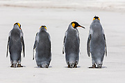 King Penguins (Aptenodytes patagonicus), Saunders Island, Falkland Islands, South Atlantic Ocean