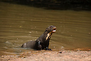 Giant Otter on River Beach (Pteronura brasiliensis) HABITUATED. Part of Karanambu Otter Trust to be reabilitated.<br /> Savannah<br /> Rupununi<br /> GUYANA. South America<br /> RANGE: Orinoco, Amazon, and Guianas river systems<br /> IUCN: ENDANGERED SPECIES