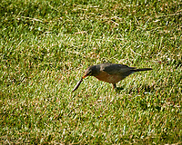 American Robin with breakfast. Image taken with a Nikon N1 V3 camera and 70-300 mm VR lens