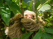 Two-toed Sloth, Choloepus hoffmanni