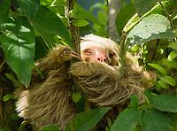 Hoffman's Two-toed Sloth, Choloepus hoffmanni, near Guapiles, Costa Rica