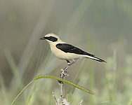 Black-eared Wheatear - Oenanthe hispanica - eastern race male, pale-throated form