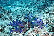 hunting coalition of blue goatfish or gold-saddle goatfish, Parupeneus cyclostomus, with bluefin jacks or omilu or bluefin trevally, Caranx melampygus, Kohanaiki, North Kona, Hawaii ( the Big Island ), USA ( Central Pacific Ocean )