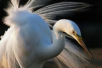 Great  Egret (Egretta alba)) Hungary May 2008