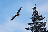Bald Eagle - Alaska 2015