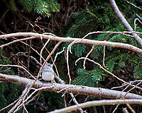 Dark-eyed Junco. Image taken with a Nikon D300 camera and 80-400 mm VR lens (ISO 1100, 400 mm, f/5.6, 1/250 sec).