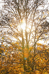 Sun Shining Through Tree with Autumn Leaves