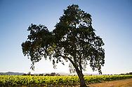 oak tree in beringer big ranch road vineyard in napa, california