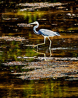 Great Blue Heron. Weedon Island Nature Preserve, Pinellas County, Florida. Image taken with a Nikon D300 camera and 80-400 mm VR lens (ISO 200, 400 mm, f/5.6, 1/500 sec)