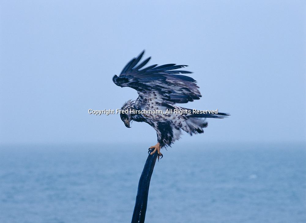 Immature Bald Eagle, Haliaeetus leucocephalus, in snow along the shore of Kachemak Bay on the Homer Spit, Homer, Alaska.