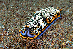 This colorful nudibranch, Armina sp., feeds on sea pens. Dumaguete, Negros, Philippines, Pacific Ocean