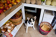 Panda, mixed breed dog, at the Fresh Connection fruit and  vegetable store