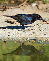 Bronzed Cowbird and Reflection at Dos Vandas Ranch in Southern Texas. Image taken with a Nikon D4 camera and 500 mm f/4 VR lens (ISO 220, 500 mm, f/5.6, 1/1000 sec).