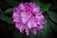 Cluster of Rhododendron Flowers. Image taken with a Nikon 1 V1 and 30-100 mm VR lens (ISO 400, 41.2 mm, f/4, 1/60 sec). Raw image processed with Photoshop CS6 (Adobe Camera Raw 7).