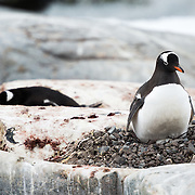 Two Gentoo penguins nesting on the exposed rocks on Petermann Island, Antarctica. Petermann Island is home to the world's southernmost colony of Gentoo penguins. They share the coastline with Adelie penguins and seals as well as other seabirds.