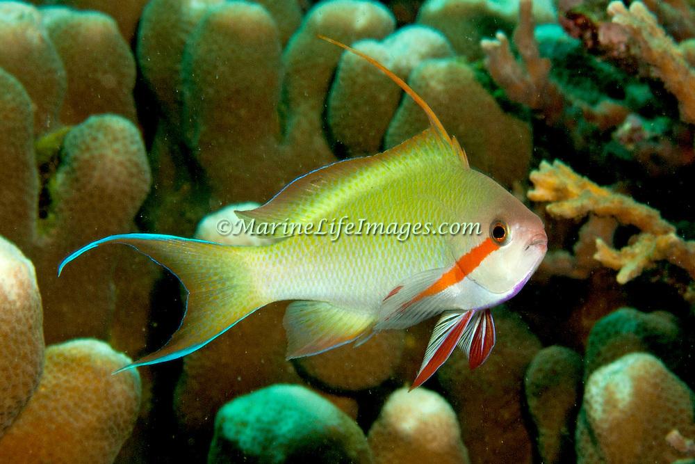 Threadfin Anthias inhabit reefs. Picture taken Philippines, Dumaguete.