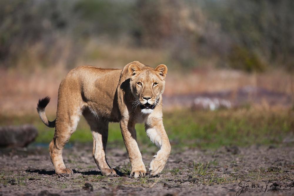 A lioness walking toward viewer with eye contact (Panthera leo), Kalahari Desert, Botswana Africa