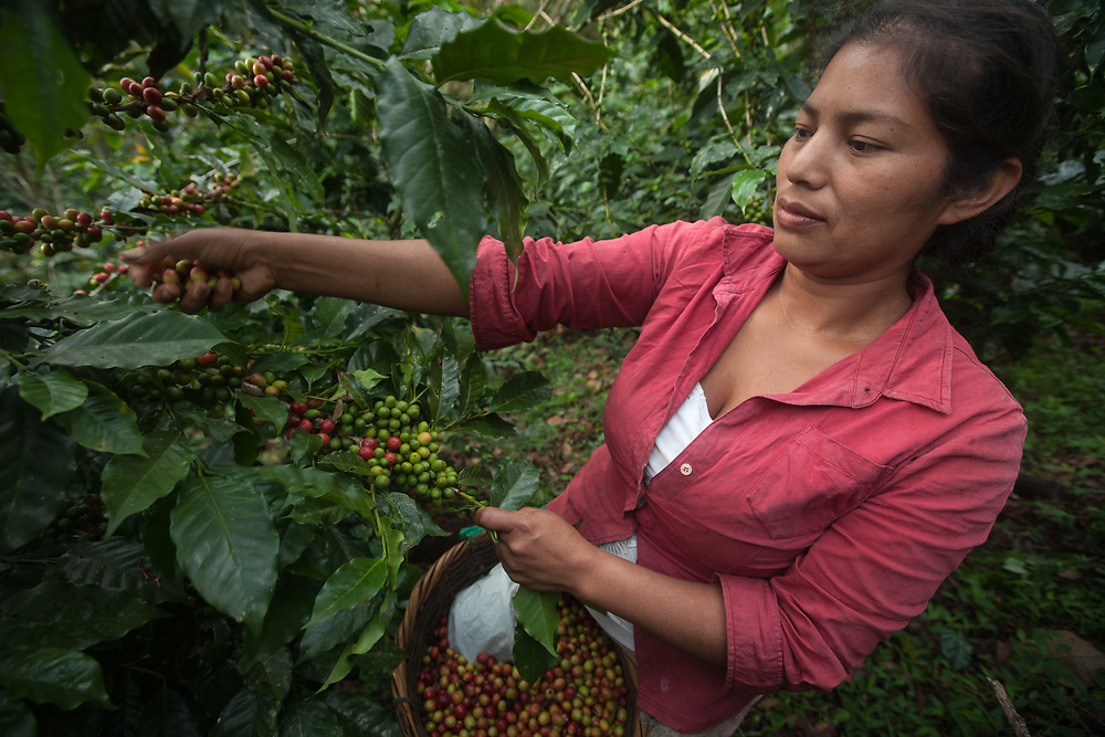 At finca Sta Lucia, a member of CORCASAN coop, Marlene Romero Lopez, 34 and a mother of three, picks coffee.