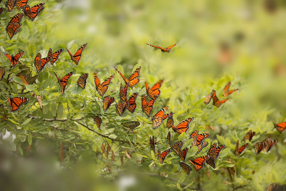 """Dozens of monarch butterflies waiting for a storm to pass before migrating south for the winter.<br /> <br /> Available sizes:<br /> 18"""" x 12"""" print or canvas print<br /> <br /> See Pricing page for more information. Please contact me for custom sizes and print options including canvas wraps, metal prints, assorted paper options, etc. <br /> <br /> I enjoy working with buyers to help them with all their home and commercial wall art needs."""