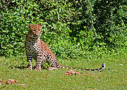 Leopard sitting in open ground looking at the camera, Yala National Park, Sri Lanka