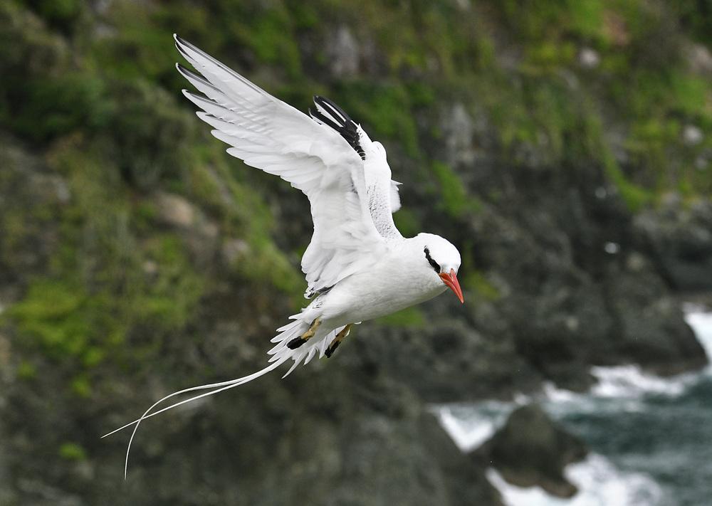 Red-billed Tropicbird - Phaethon aethereus<br /> Little Tobago, Trinidad and Tobago