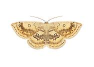 70.031 (1676)<br /> Mocha - Cyclophora annularia