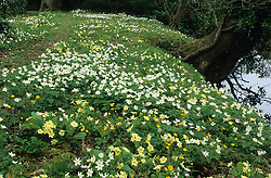 Anemone nemorosa, Primula vulgaris and Ranunculus auricomus growing wild on a grassy bank by the Lower Moat. Windflowers, Wood anemones