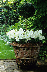 Terracotta container of clipped box ball and white petunias